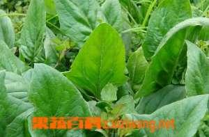 菠菜子的功效与作用 菠菜子的药用价值