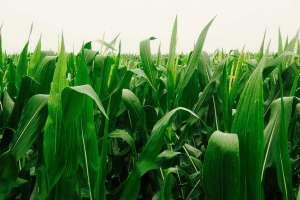 玉米灌浆期的中耕培土
